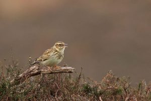 Woodlark by Martin Bennett