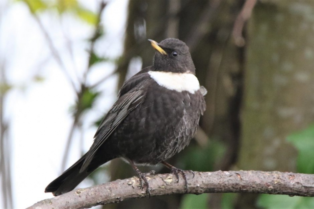 Ring Ouzel by Andy Tew - Apr 11th, Lower Test Marshes