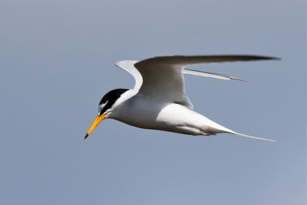 Little Tern by Andy Tew - Apr 26th, Pennington Marshes
