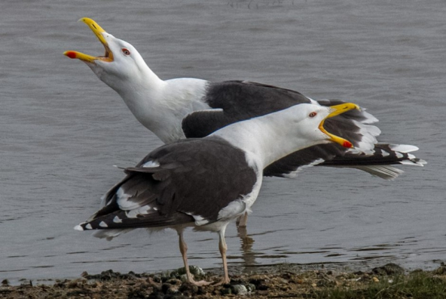 Great Black-backed Gull by Mike Duffy - Apr 24th, Pennington Marshes