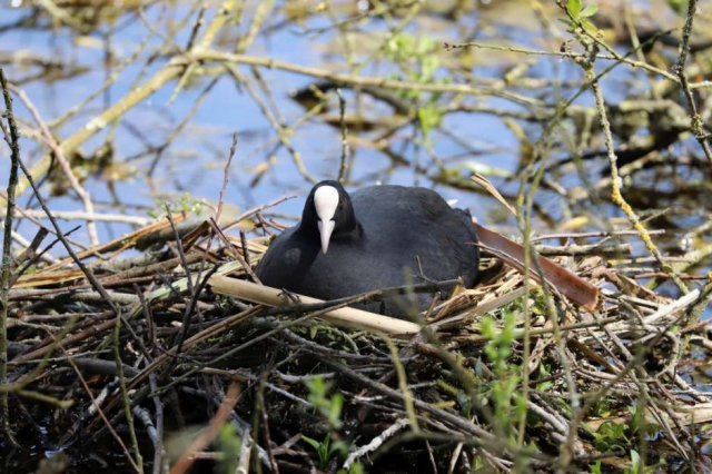 Coot by Brian Cartwright - Apr 26th, Anton Lake