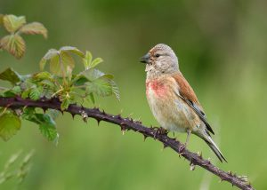 Linnet by Gareth Rees