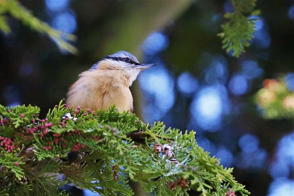 Nuthatch by Brian Cartwright - Apr 5th, Andover