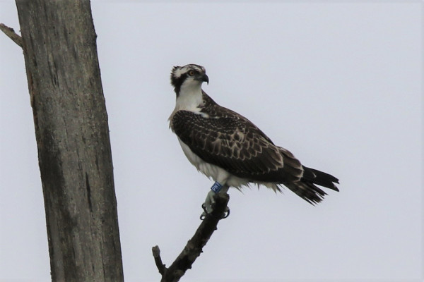 Osprey by Andy Tew