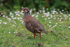 Red-legged Partridge by Andy Tew