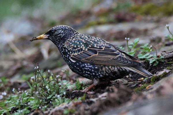 Starling by Andy Tew - Apr 4th, Romsey