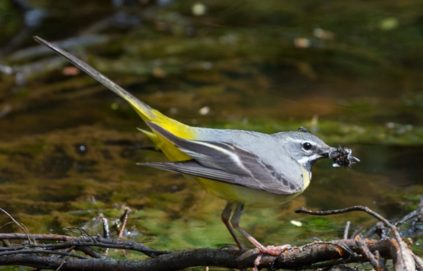 Grey Wagtail by David Cuddon - May 5th, New Forest