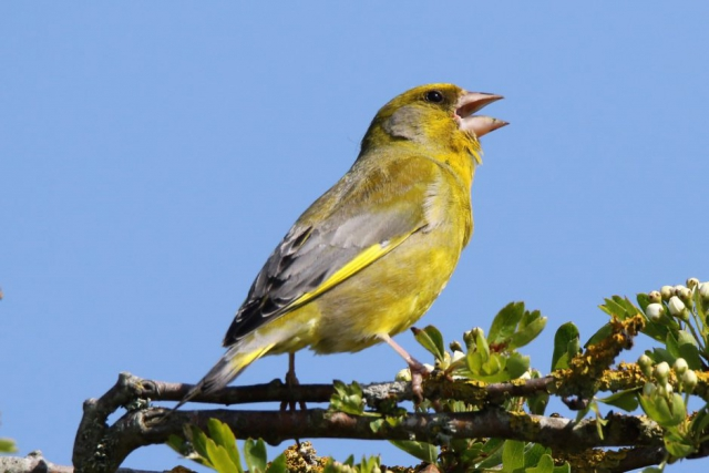 Greenfinch by Andy Tew - May 15th, Pennington Marshes