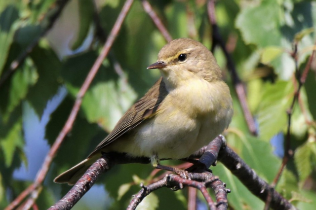 Willow Warbler by Andy Tew - May 23rd, New Forest