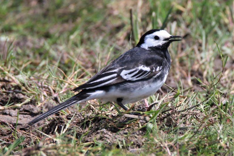 Pied Wagtail by Andy Tew - May 23rd, New Forest