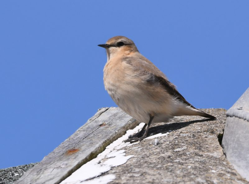 Wheatear by Dave Levy - May 16th, Titchfield Haven