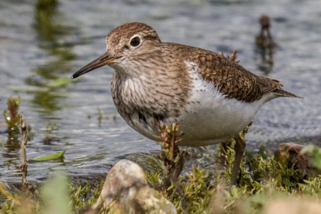 Common Sandpiper by Bruce Hargreaves - May 1st, Blashford Lakes