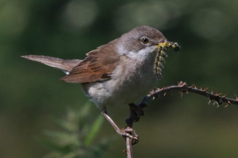 Whitethroat by Andy Tew - June 6th, Pennington Marshes