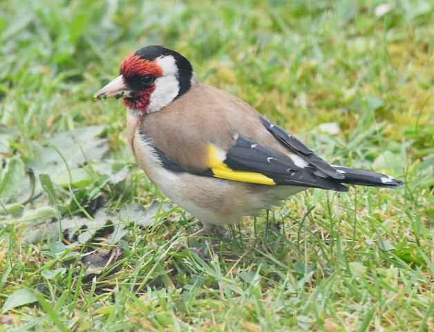 Goldfinch by Dave Levy - May 30th, Basingstoke