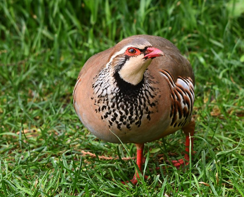 Red-legged Partridge by Dave Levy - June 1st, Kempshott