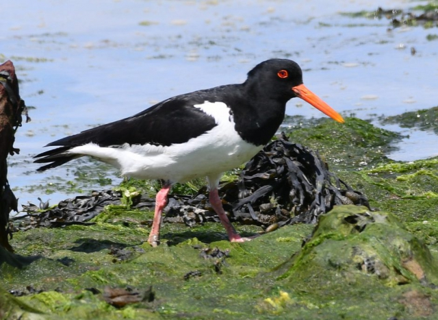 Oystercatcher by Dave Levy - June 2nd, Warsash