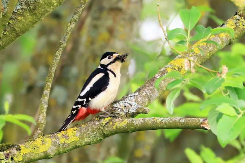 Great-spotted Woodpecker by Brian Cartwright - May 23rd, Anton Lakes