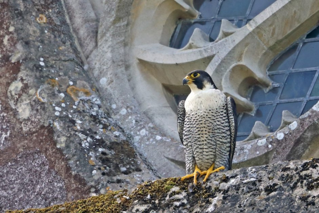 Peregrine (f) by Richard Jacobs - June 11th, Winchester Cathedral