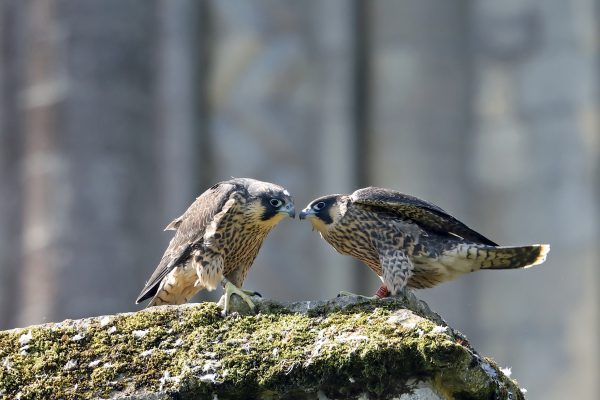 Peregrine (juvs) by Richard Jacobs - June 11th, Winchester Cathedral