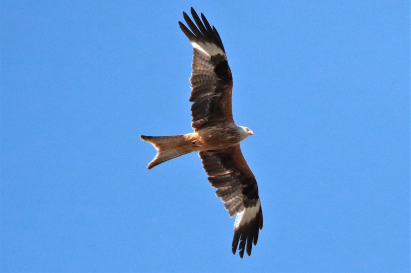 Red Kite by Andy Tew - June 25th, Romsey