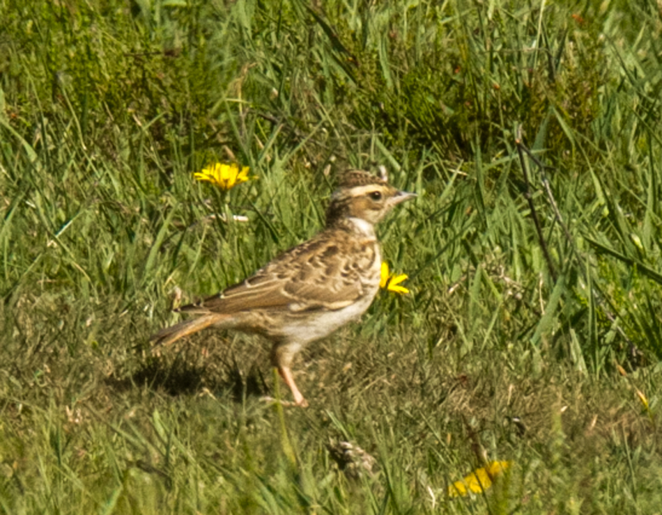 Woodlark by Mike Duffy - June 21st, Acres Down