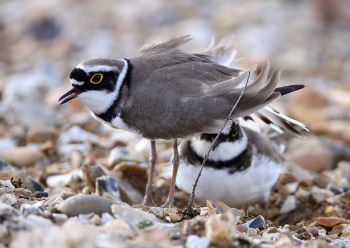 Little Ringed Plover by Gordon Small