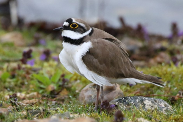 Little Ringed Plover by Andy Tew - Apr 10th, Blashford Lakes