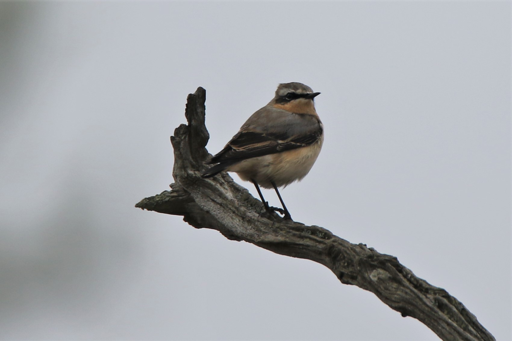 Wheatear by Andy Tew - Apr 11th, Lower Test Marshes