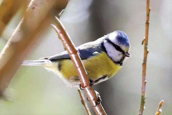 Blue Tit by Brian Cartwright - Apr 5th, Andover