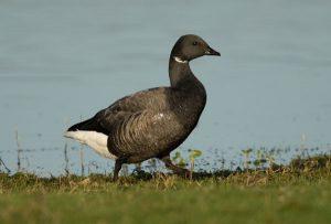 Brent Goose by David Cuddon