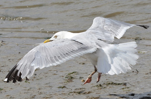 Herring Gull by Dave Levy - Apr 3rd, Warsash