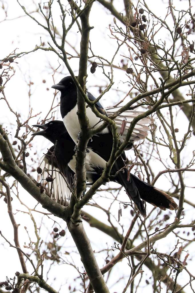 Magpie by Brian Cartwright - Apr 7th, Andover