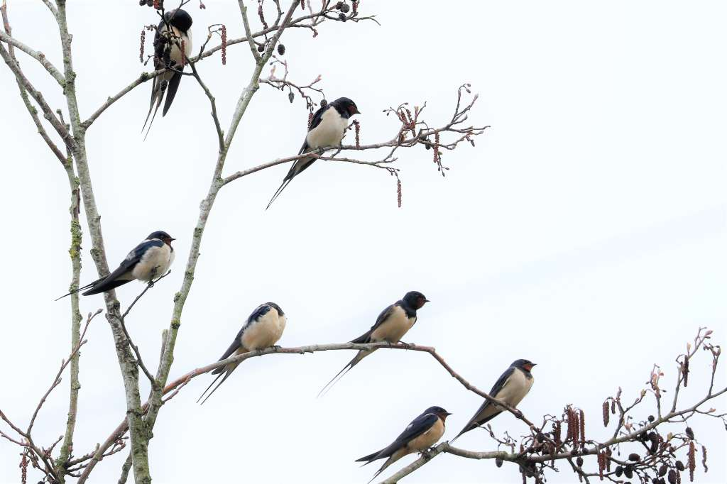 Swallow by Brian Cartwright - Apr 10th, Anton Lakes