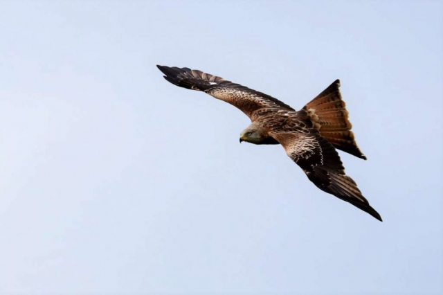 Red Kite by Brian Cartwright - Apr 23rd, Weyhill