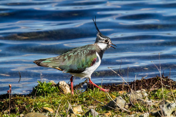 Lapwing by Mike Duffy - Apr 5th, Blashford Lakes