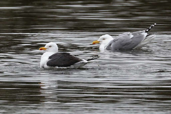 Lesser Black-backed and Herring Gull by Brian Cartwright - Apr 3rd, Anton Lakes