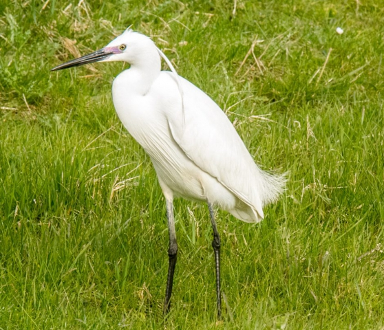 Little Egret by Mike Duffy - Apr 24th, Pennington Marshes