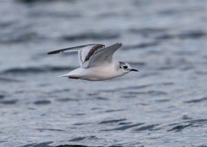 Little Gull by David Cuddon