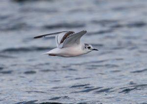 Little Gull by David Cuddon