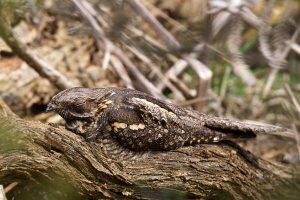Nightjar by Martin Bennett