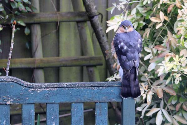 Sparrowhawk by Brian Cartwright - Apr 1st, Basingstoke