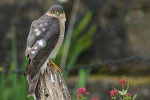 Sparrowhawk by Martin Bennett