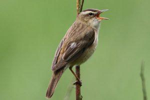 Sedge warbler by Andy Tew