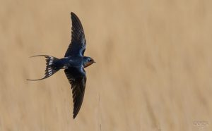 Swallow by Colin Vanner