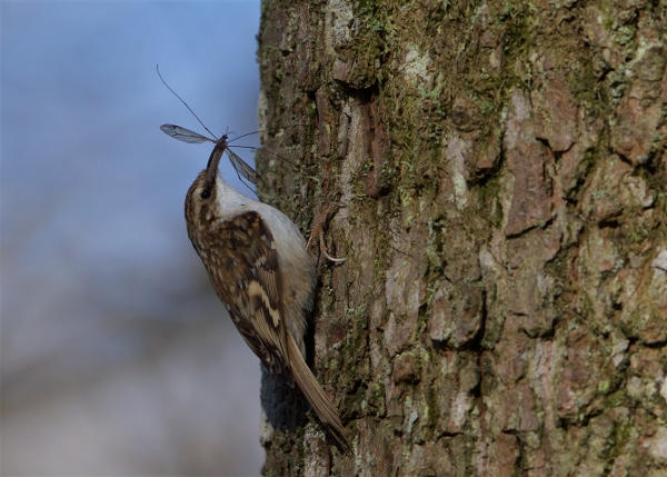 Treecreeper by Martin Bennett - Apr 5th, New Forest