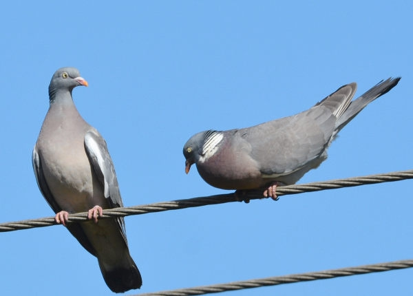 Woodpigeon by Dave Levy - Apr 5th, Basingstoke