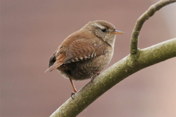 Wren by Andy Tew - Apr 4th, Romsey