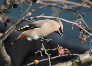 Waxwing by Gareth Rees