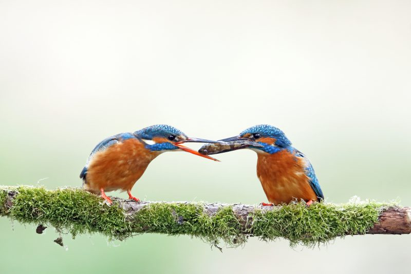 Kingfishers by Richard Jacobs - Mar 23rd, Timsbury