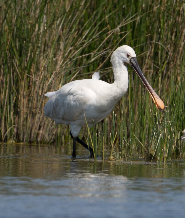 Spoonbill by David Cuddon - May 15th, Pennington Marshes